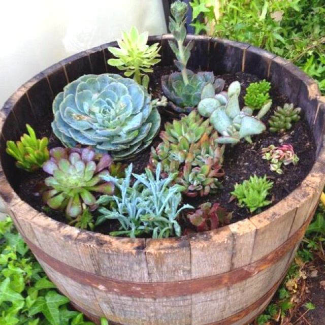 Wine barrel succulent garden. love!