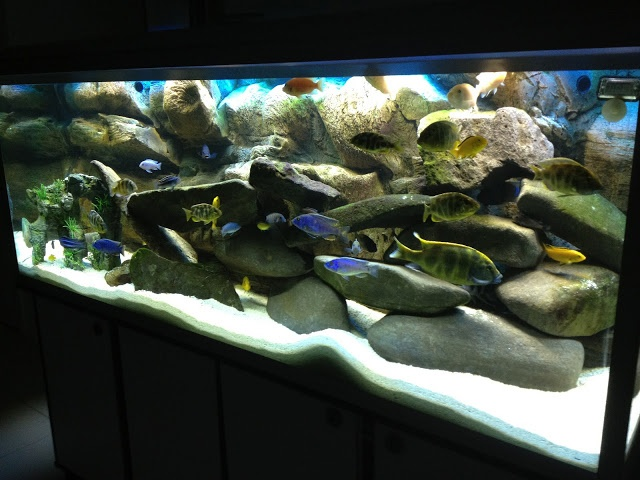 1000 images about african cichlid aquariums on pinterest for African cichlid tank decoration