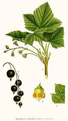 Ribes nigrum - Black currant -Frenk üzümü