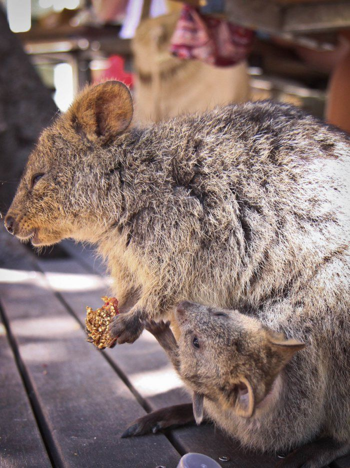 Best Quokka Animal Ideas On Pinterest Quokka Quokka Baby - 15 photos that prove quokkas are the happiest animals in the world