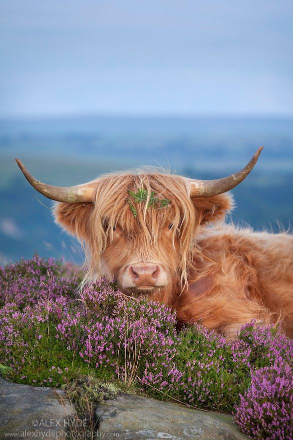 Highland cow in heather on Curbar Edge, Peak District National Park, Derbyshire.