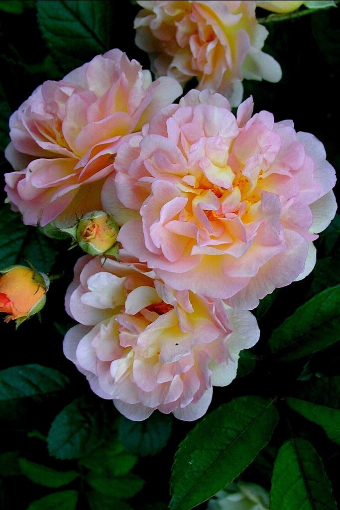 Cornélia - Hybrid Musk, pink blend, double, 1925, rated 8.6 (excellent) by ARS.