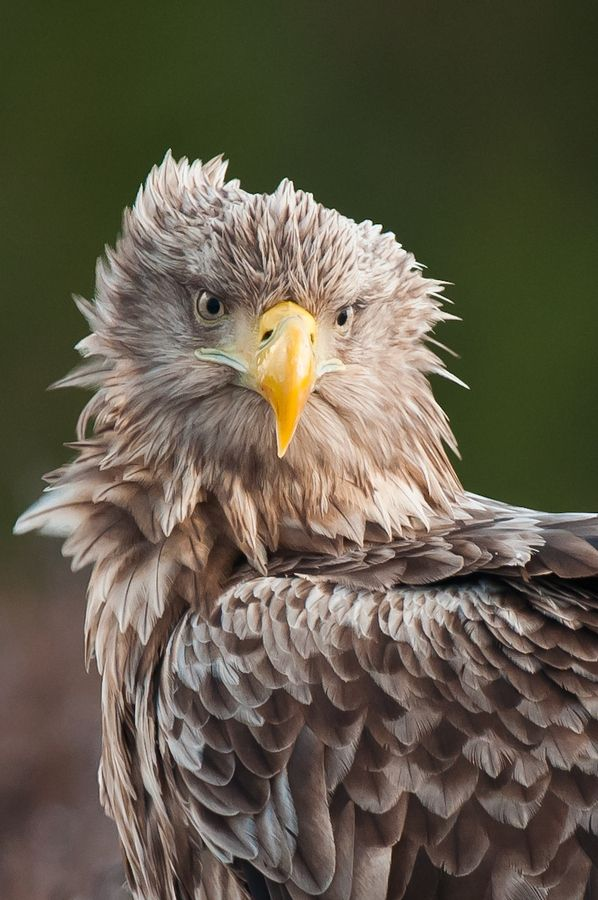White-tailed Eagle  II by Geir Magne  S