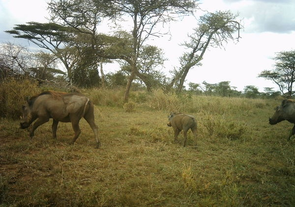 Baby warthog with family!