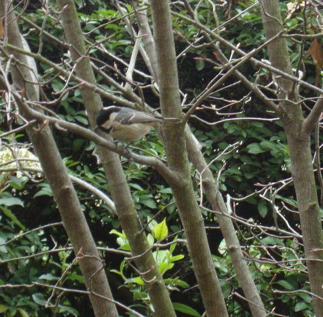 Cincia mora - https://lefotodiluisella.blogspot.it/2018/02/birdwatching.html