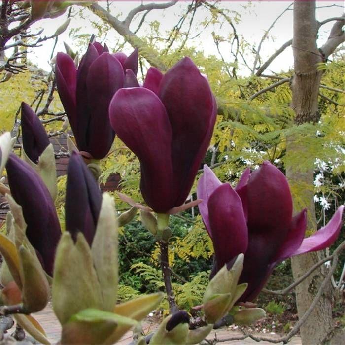 10 best images about plants on pinterest perennials flower and fragrance. Black Bedroom Furniture Sets. Home Design Ideas
