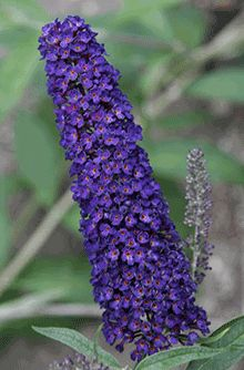Black Knight Butterfly Bush for Sale | Fast-Growing-Trees.com