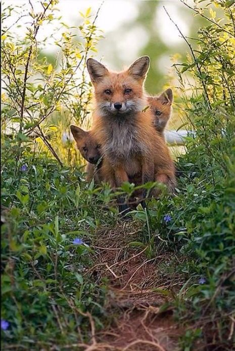 Mama Fox With Her Two Pretty Red Kits Sitting Behind Her as She Contemplates.