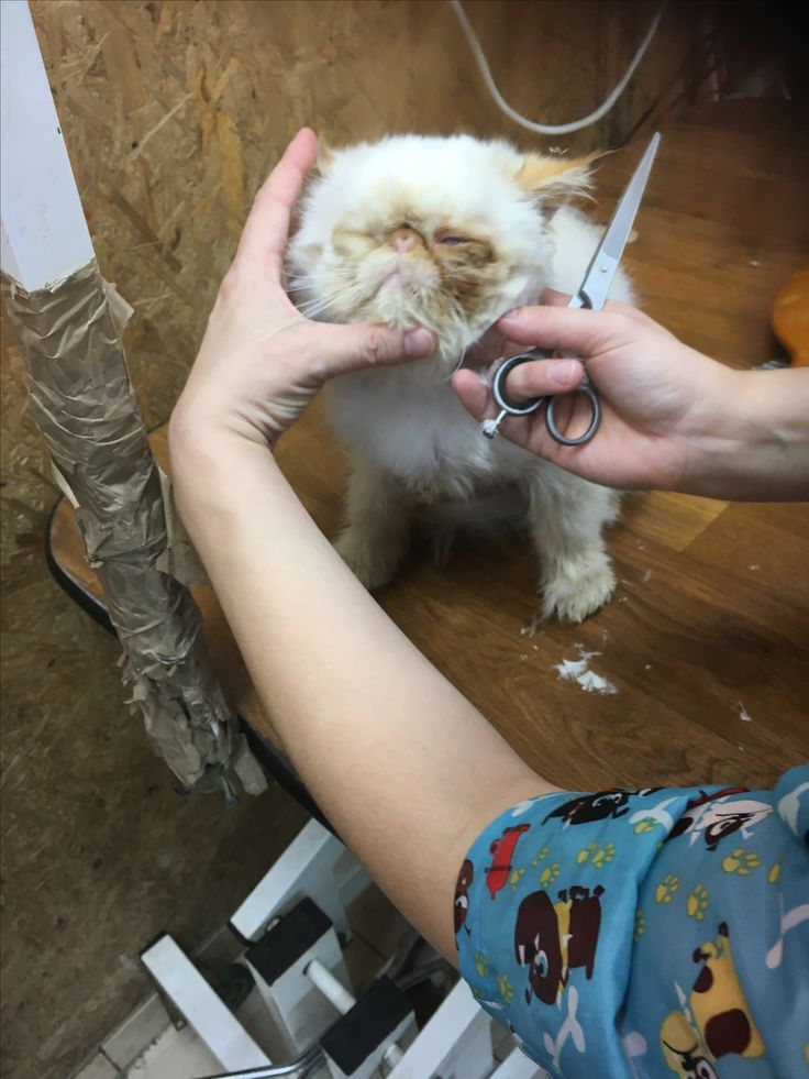 3 weeks in and Bagpuss gets his first beauty treatment including Shampoo and blow dry, manicure / pedicure and a little trim. He ❤️s it. We all agree he def has some Royal Persian or Himalayan blood.  He finally smells nice.. At last! 😩 #persiancatcare