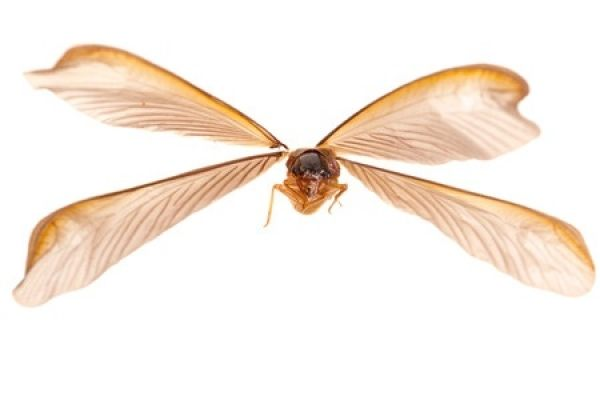 Flying termite, note the four equal sized wings