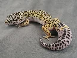 Geckos are cool-looking little lizards that live in hot places. Like all reptiles, they can't regulate their body temperature so they rely on the sun to keep them warm. They live mostly in deserts, rainforests and jungles. Here's a free gecko quiz for children: http://easyscienceforkids.com/fun-geckos-quiz-free-general-knowledge-science-quiz-for-kids-online/