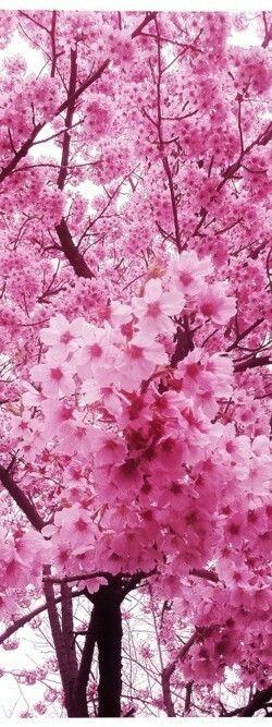 Arvores de Cerejeira inverno de 2014