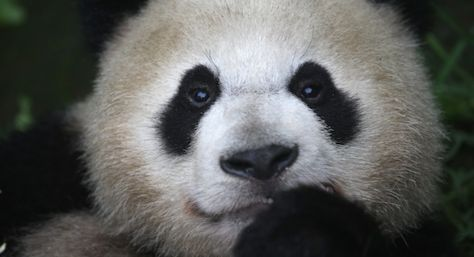 ¿Los osos panda son osos?