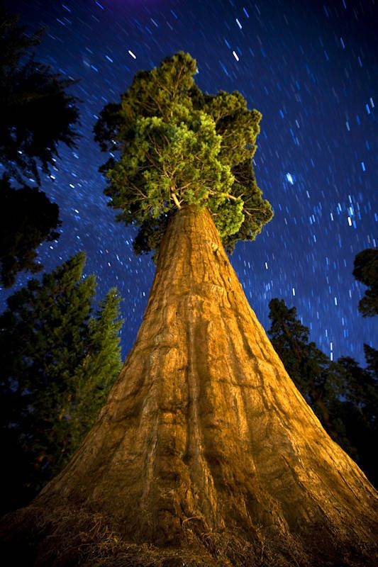 A giant sequoia tree against the backdrop of a starry night sky
