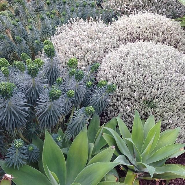 This combination is: agave attenuata, euphorbia wulfenii and westrengea 'smokey' trimmed into spheres.