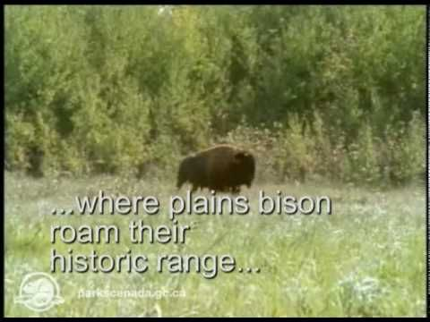 Parks Canada: Bison of Prince Albert National Park
