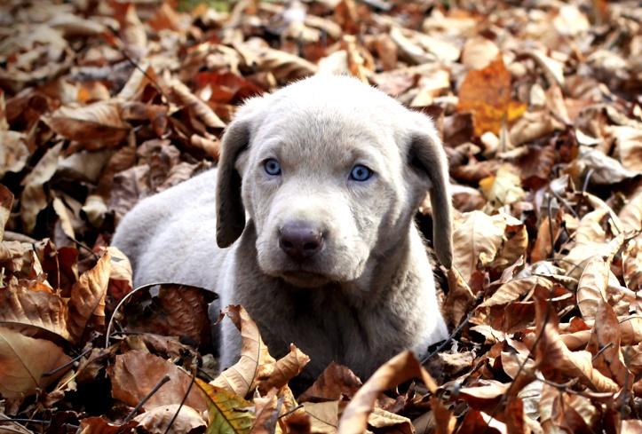Raridade. Labrador cinza com olhos azuis.