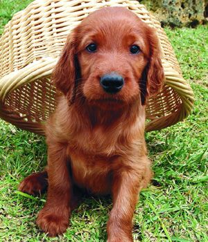 Irish Setter breed info,Pictures,Characteristics,Hypoallergenic:No