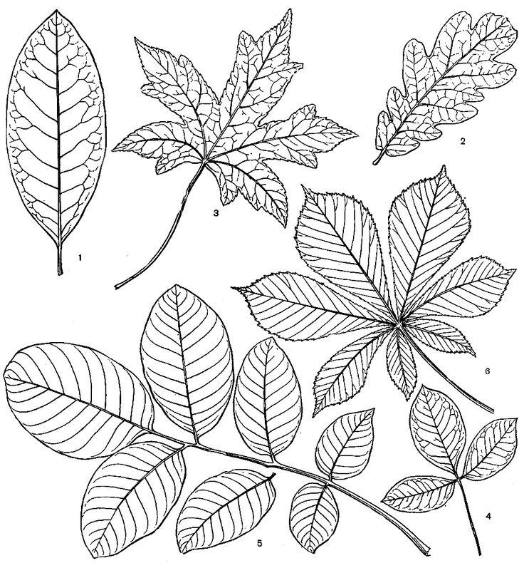 лист миртового дерева - Cerca con Google