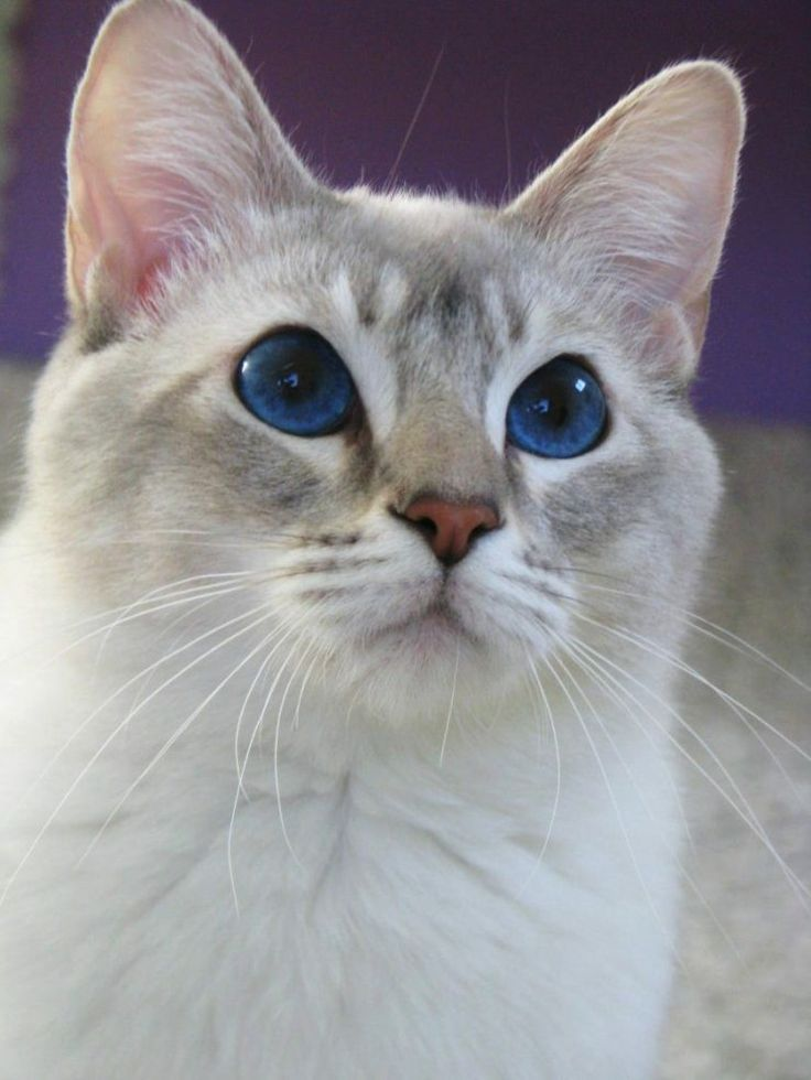 17 Best images about Lilac Point Siamese Cats on Pinterest ...