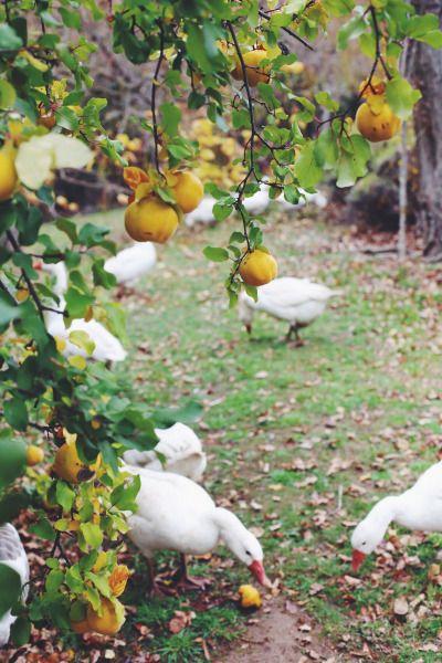 Geese in the garden