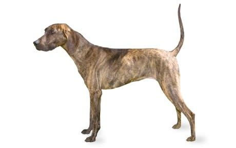 Plott Hound information including pictures, training, behavior, and care of Plott Hounds and dog breed mixes.