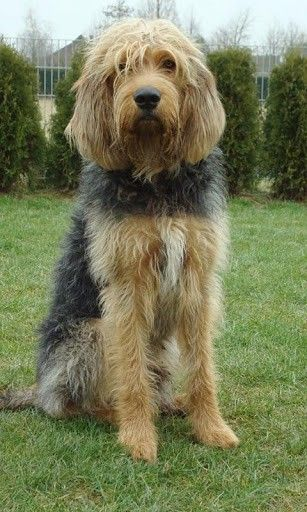 ♥DS♥ 243 Otterhound