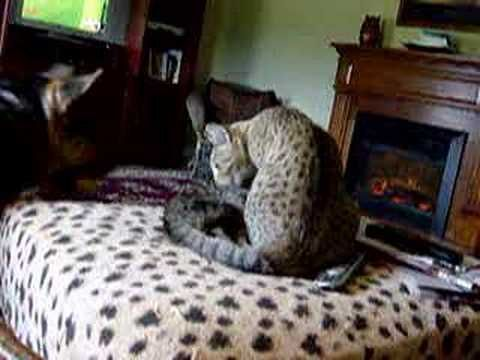 Video Savannah Cats PLaying With Dog