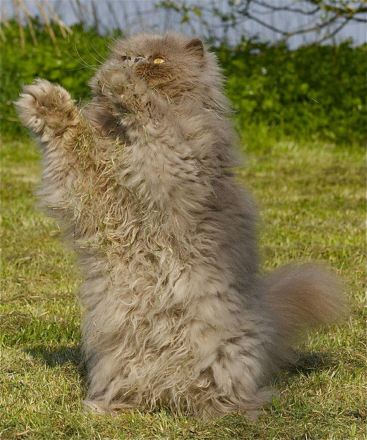 Tony - the Persian - Hands up!