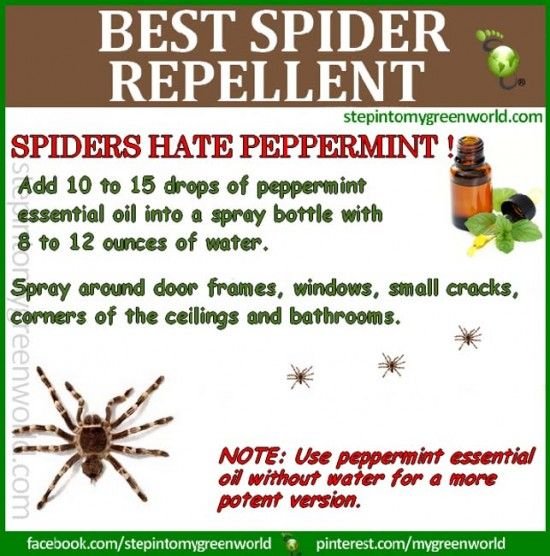 Peppermint Spider Repellent Garden Pest Control                                                                                                                                                                                 More
