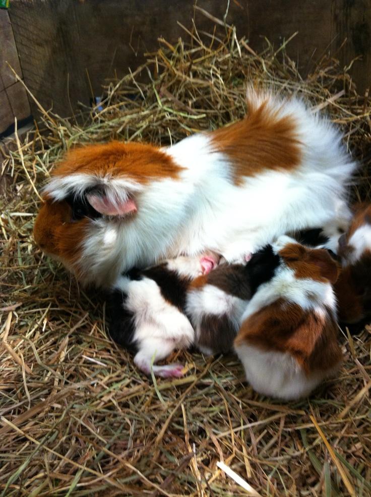 Moeder cavia met kleintjes bij ons in de winkel geboren. #kraamkamer