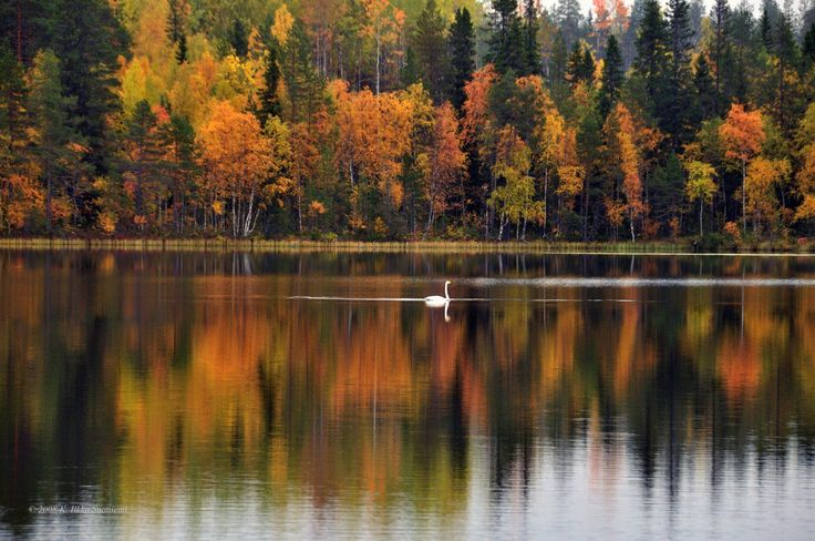 A lonely Whooper Swan takes a break during its autumn migration in Aittojärvi, Suomussalmi Finland photo by K. Ilkka Suoniemi