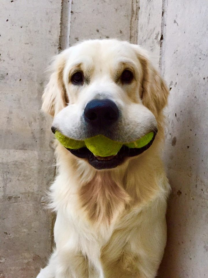 Golden Retriever with three tennis balls in his mouth ...
