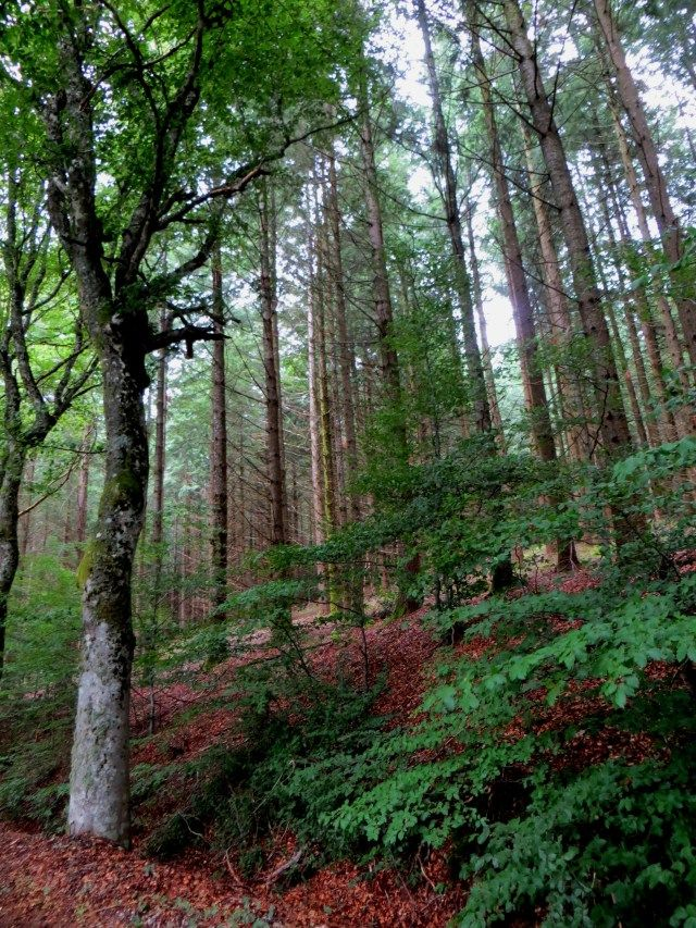 Beech trees on the Routes des Hetres, Meymac, Millevaches Plateau