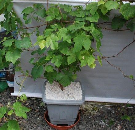 Como Plantar Uva em Vaso