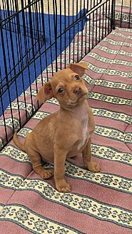 Chihuahua Mix Puppy for adoption in Carson, California - SONNY