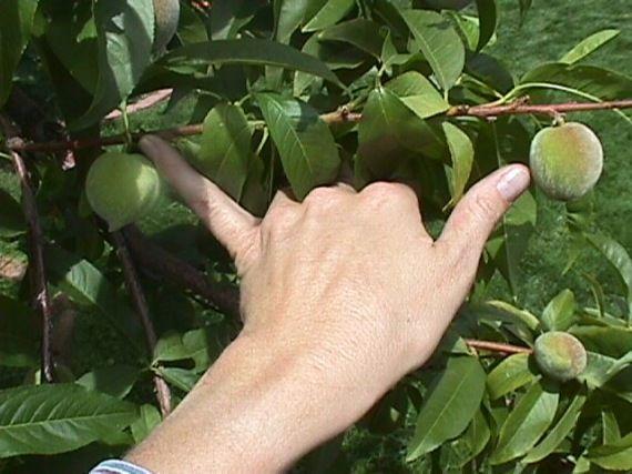 Gyümölcsritkitás