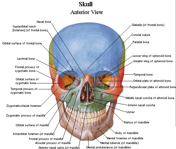skull anatomy, anterior view - Google Search | Nervous ...