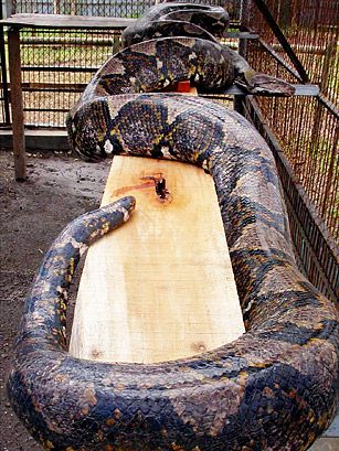 BURMESE PYTHON:  The Burmese Python, a constrictor, is one of the largest snakes in the world, usually growing up to 25 ft. and some 200 lbs, but there have been pythons as long as 50 ft. and as heavy as 1,000 lbs. The Burmese Pythons grab their victims with sharp teeth, wrap themselves around their target and simply squeeze. After their lunch has suffocated, the pythons swallow them whole with super-stretchy jaws. Fortunately, Burmese Pythons rarely attack human beings.