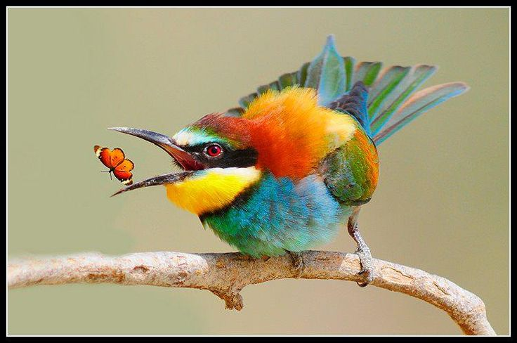 African Bee-Eaters are experts at beak-tossing ... especially if he knows someone is watching.