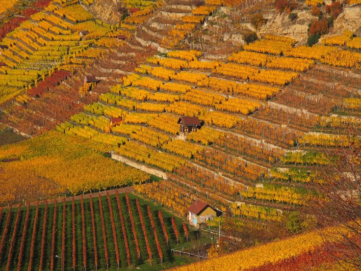 https://flic.kr/p/AqBM3C   Terraced Vineyard in Autumn - Stuttgart, Germany   Seen during another bike tour on a wonderful autumn day with perfect weather in Stuttgart, Bad Cannstatt (Steinhaldenfeld), Germany next to the river Neckar.  The golden tones of the foliage are really very lushly this year.  ------------------------------------------------------------------------------------------ Thanks for your visit! Wish you all a beautiful relaxing sunny weekend…