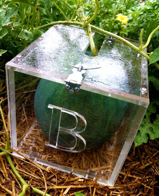 square-watermelon: but I can do the same with my tomatoes that squirrels keep stealing next summer. idea to stash away.