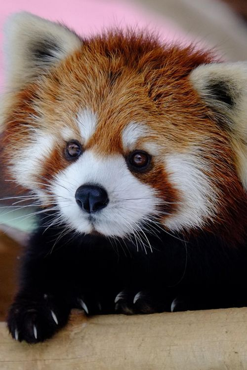 If I was going to be reincarnated as an animal, I'd pick coming back as a red panda.  They are so cute!