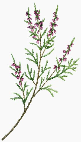 Lizzie Harper botanical illustration of heather