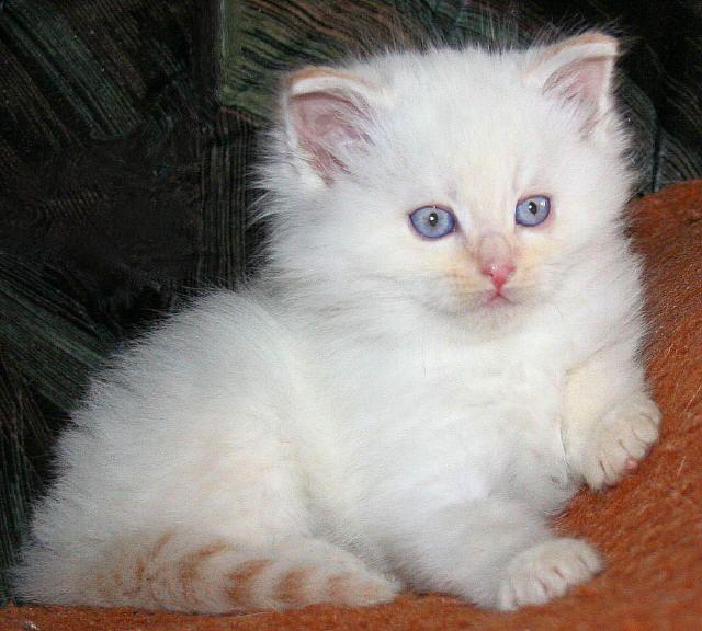 red-mackerel-tabby-point/white Farberklärung Neva Masquarade Katze,cat, kat, poes, katt, felis, chatte, gatto, gato, kot, kedi