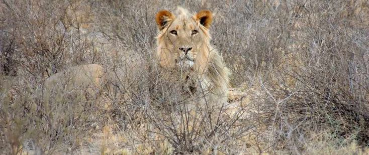 Lion in the Kgalagadi