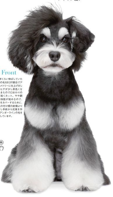 Japanese Dog Grooming Style ☀opawz.com supply pet hair dye,pet hair chalk,pet…
