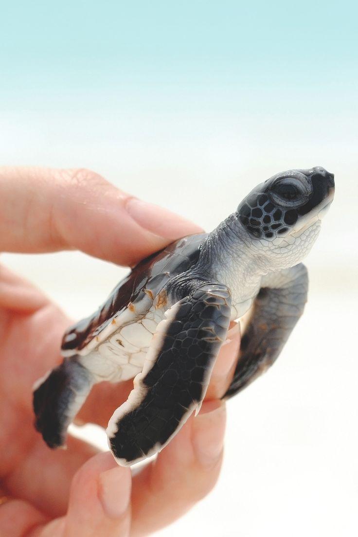 """lsleofskye: """" baby Turtle """""""