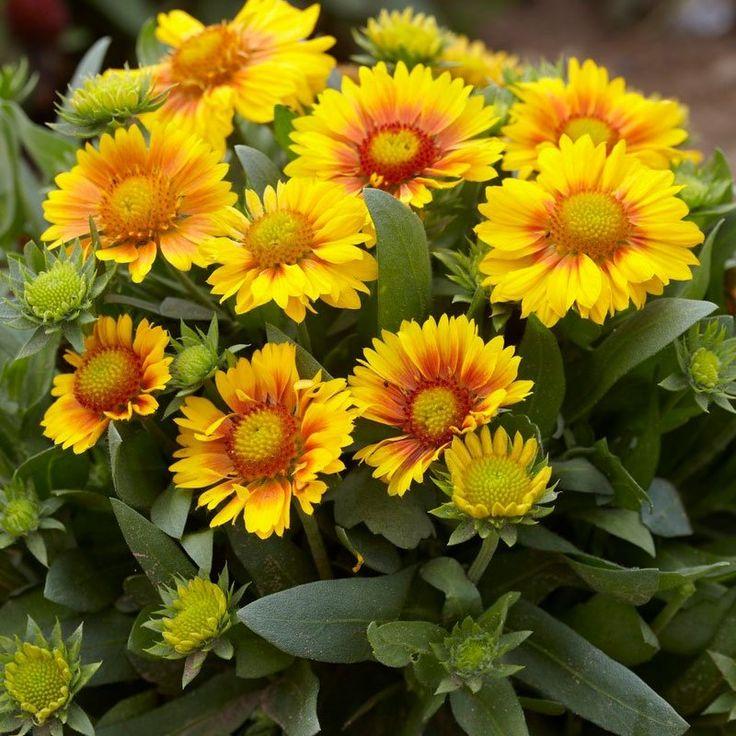 низкорослые многолетники цветы для дачи фото с названиями каталог экспедиционный так