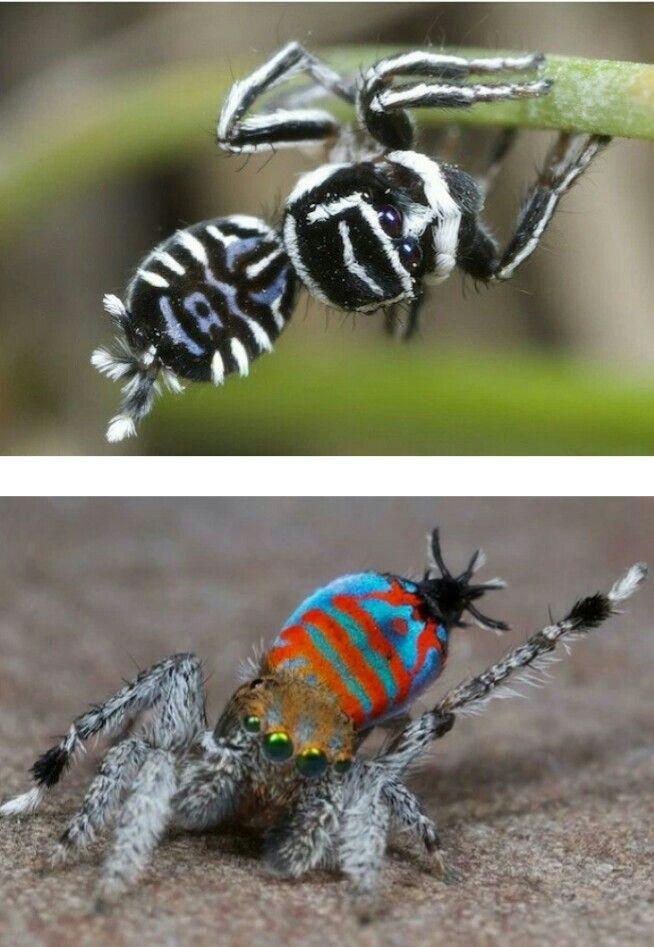 Duas novas espécies de aranhas pavão foram descobertas no sul de Queensland. Essas aranhas são chamadas assim por causa de seus tons chamativos e seus movimentos. As novas espécie descobertas  tem cores preta e branca, vermelha e listras azuis.  Veja mais aquihttp://climatologiageografica.com.br/duas-novas-especies-de-aranha-sao-descobertas/#ixzz3y75ZrAQD